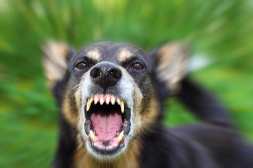 A dog viciously barring its teeth.